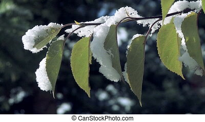Autumn Birch Leaves with Snow - Autumn snow on yellow birch...