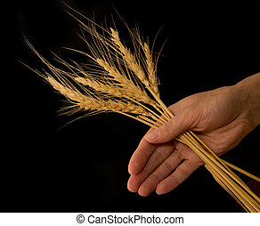 hand with the wheat on a black background
