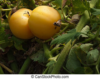 Pair of yellow tomatoes on a green vine