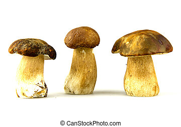 Mushrooms - Porcini, Boletus edulis