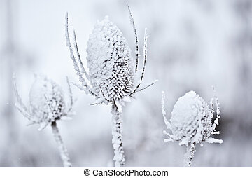 Snow Covered Teasel - Closeup some some snow covered wild...