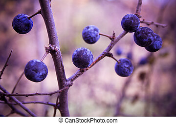 blackthorn bush with berries