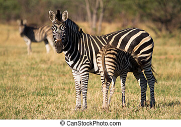Newborn zebra foal - A young zebra foal drinking from its...