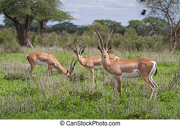 Grants gazelles - A small herd of Grants gazelles feeding on...
