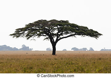 Serengeti acacia tree - A large umbrella-shaped thorn tree...