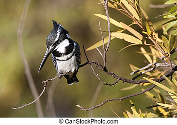 Pied kingfisher - A pied kingfisher watching the water for a...