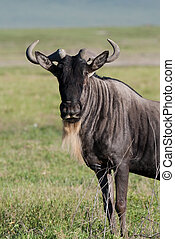 White-bearded gnu - A white-bearded wildebeest in the...