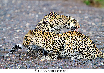 Leopards in riverbed - Two male leopards cleaning each other...