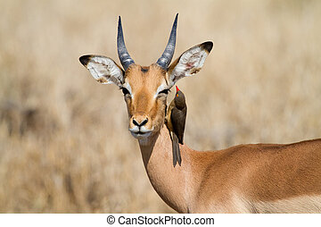 Impala and oxpecker - A red-billed oxpecker looks for ticks...