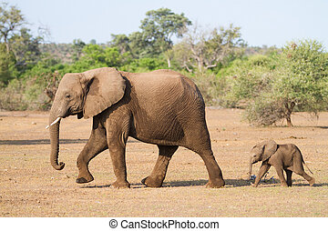 Mother and baby - A baby african elephant calf following its...