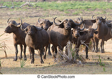 Herd of buffalo - A herd of anxious Cape buffalo bunched...