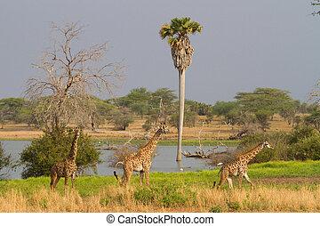 Selous giraffe - Three giraffe walking in front of a lake...
