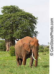Elephant Cow - A large African elephant cow grazing next to...