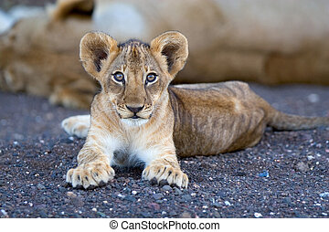 Lion cub in riverbed - A small lion cub lying in a dry...