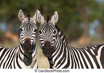 Two zebras - Two burchells zebras looking straight at the...