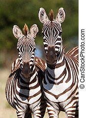 two zebras - A mother Burchells zebra next to her young foal...