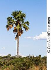 Tall palm tree - One very tall palm tree