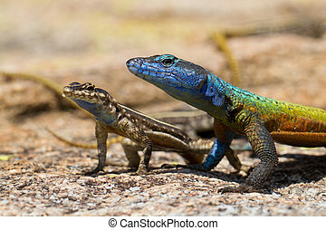 Matobo lizards - A pair of flat lizards, a male and female,...