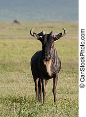 white bearded gnu - A portrait of an adult white bearded gnu...