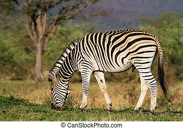 Feeding zebra male - A zebra stallion feeding in golden...