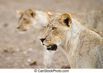Two lions - Two young lions on the hunt