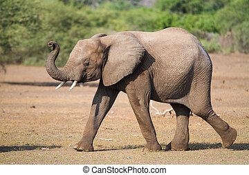 Elephant calf - An older elephant calf smelling the...