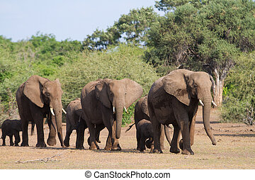 Single file - A herd of african elephants walking in single...