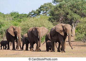 Single file - A herd of african elephants walking in single...