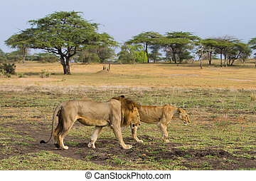 Lions walking - A mating pair of lions walking through an...