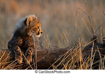 Baby cheetah - A cheetah cub resting its legs on a fallen...