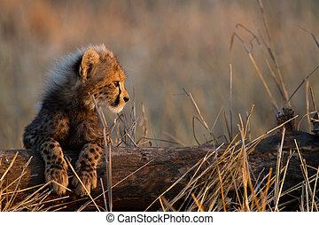 Baby cheetah - A cheetah cub resting its legs on a fallen...