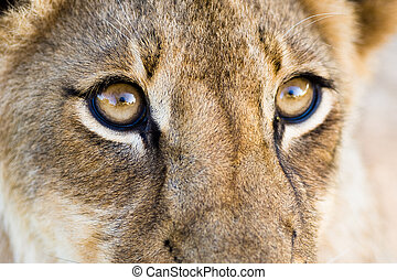 Lion eyes - A close up of a lion cubs eyes