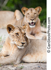 Lionesses - A pride of lionesses resting on the ground in...