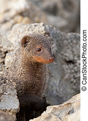 banded mongoose - A small banded mongoose peering from...
