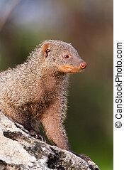 Banded mongoo