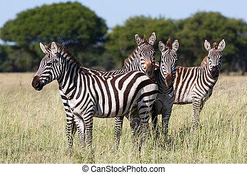 zebra herd - A small herd of burchells zebra in the...