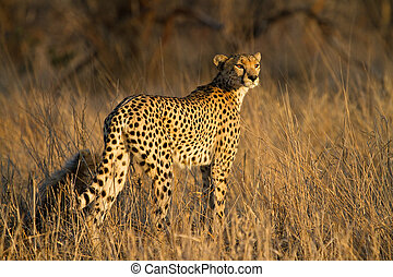 Cheetah mother - A cheetah mother with a small cub in golden...