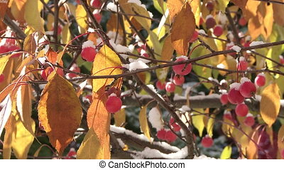 Crab Apples with autumn snow in the breeze