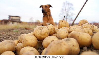 dog and potatoes - The dog is guarding the potato crop