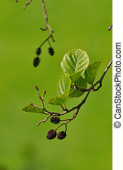 European Alder - female inflorescences of the Black Alder,...