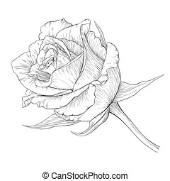 Rose - Vector illustration with rose in vintage engraving...