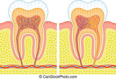 Internal structure of tooth - Two illustrations of an...