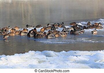 ducks in winter - lots of ducks in a half frozen river