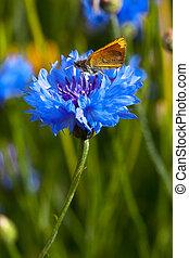 Blue Cornflowers in nature