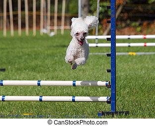 Agility Poodle