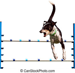 Sheepdog Agility Dog over a Jump Isolated with clipping path...