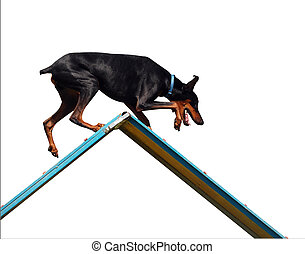 Agility Doberman on A-Frame isolated with clipping path