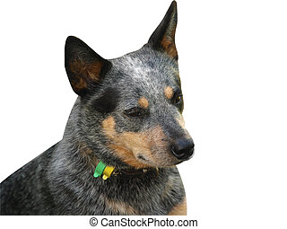 Australian Cattle Dog - Isolated Head Of an Australian...