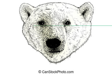 Head of a Polar Bear Illustration on White - Sketched Head...