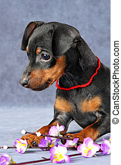 Miniature Pinscher Puppy - The Miniature Pinscher puppy, 2.5...